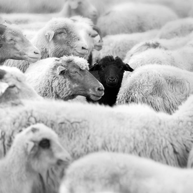 black sheep in crowd of white sheep
